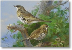 Картина Певчие птицы дрозды